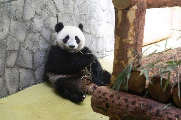 莫斯科动物园开始直播大熊猫生活