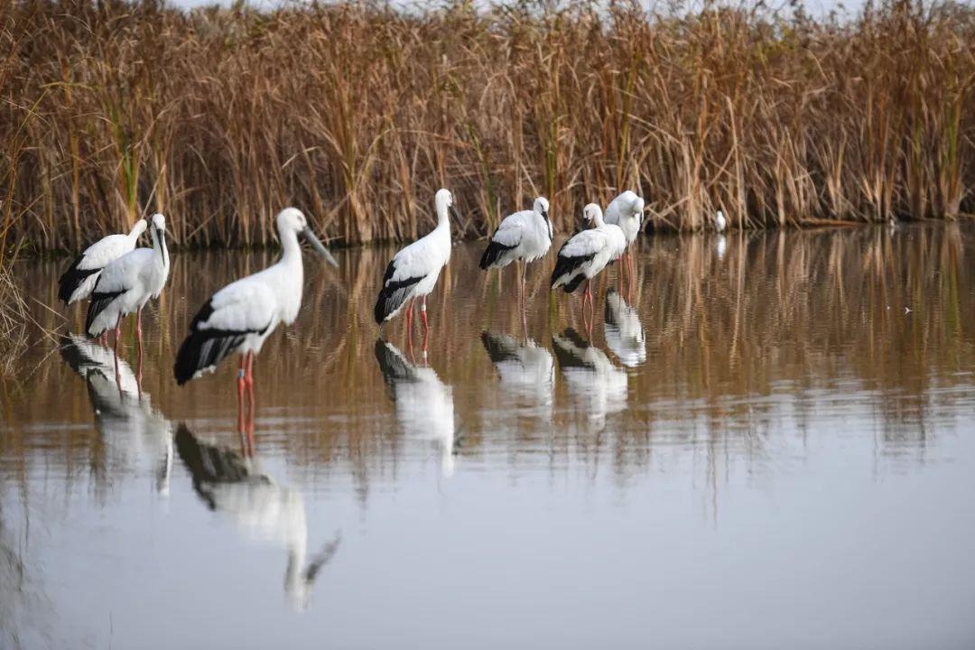 鸟儿在江苏盐城湿地珍禽国家级自然保护区内休憩。新华社记者 季春鹏 摄