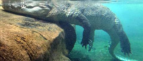 """嚇人!印度暴雨驚現鱷魚在街頭""""漫步""""當地人被批""""見死不救"""""""
