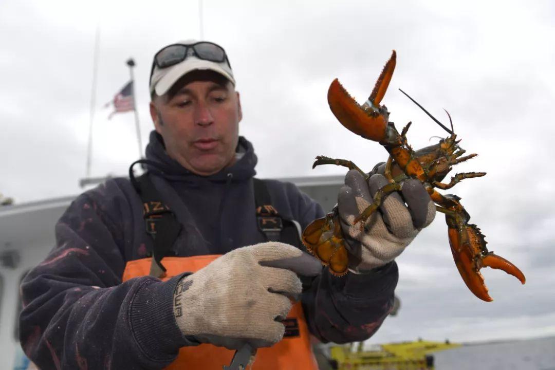 2017年3月29日,在美國緬因州東部的克萊德港,捕蝦人格里·庫什曼展示剛從海上捕到的龍蝦。新華社記者殷博古攝