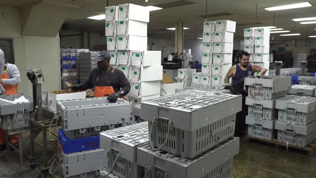 工人正在包裝龍蝦。