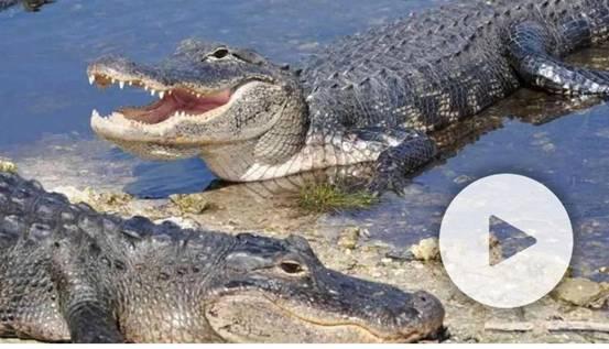 短吻鳄图片(图源:福克斯新闻网视频截图)