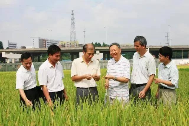 卢永根(右三)团队在田间观察水稻生长情况图源:南方日报