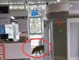 """南京夏天又见""""地铁猪""""  网友调侃太热了野猪都受不了了"""