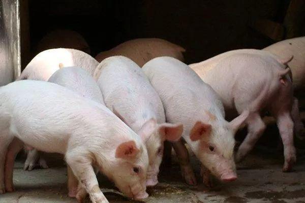 多部门发文力保生猪生产