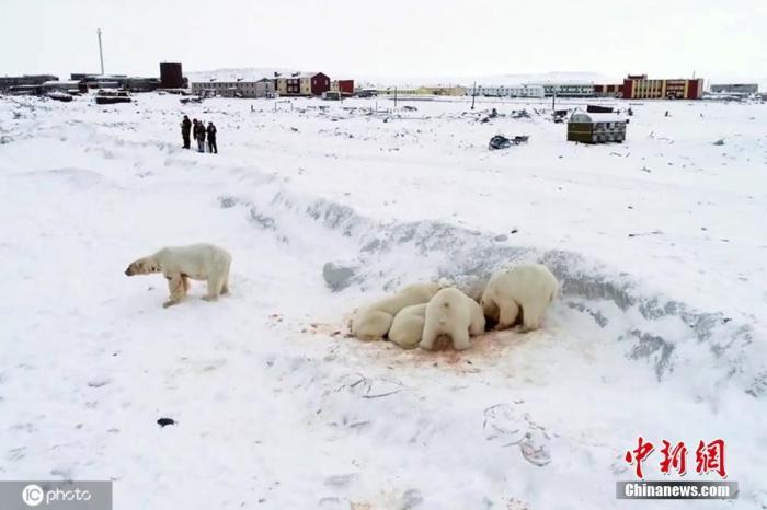 资料图:北极熊。
