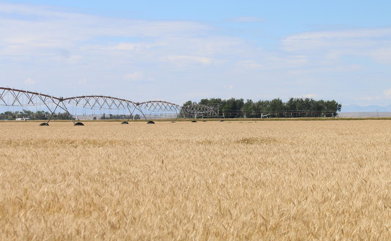 △蒙大拿州是美国的农业大州之一,图为当地大瀑布城附近的小麦农场