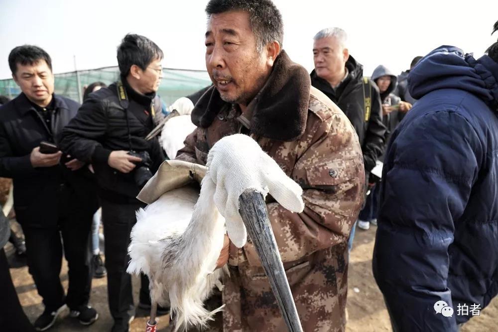 △11月16日,田志伟抱着一只准备放生的东方白鹳。
