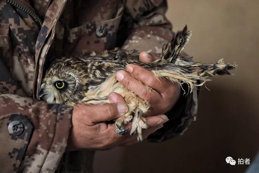 △11月16日,一只批准援助的短耳鸮依偎在田志伟怀里。