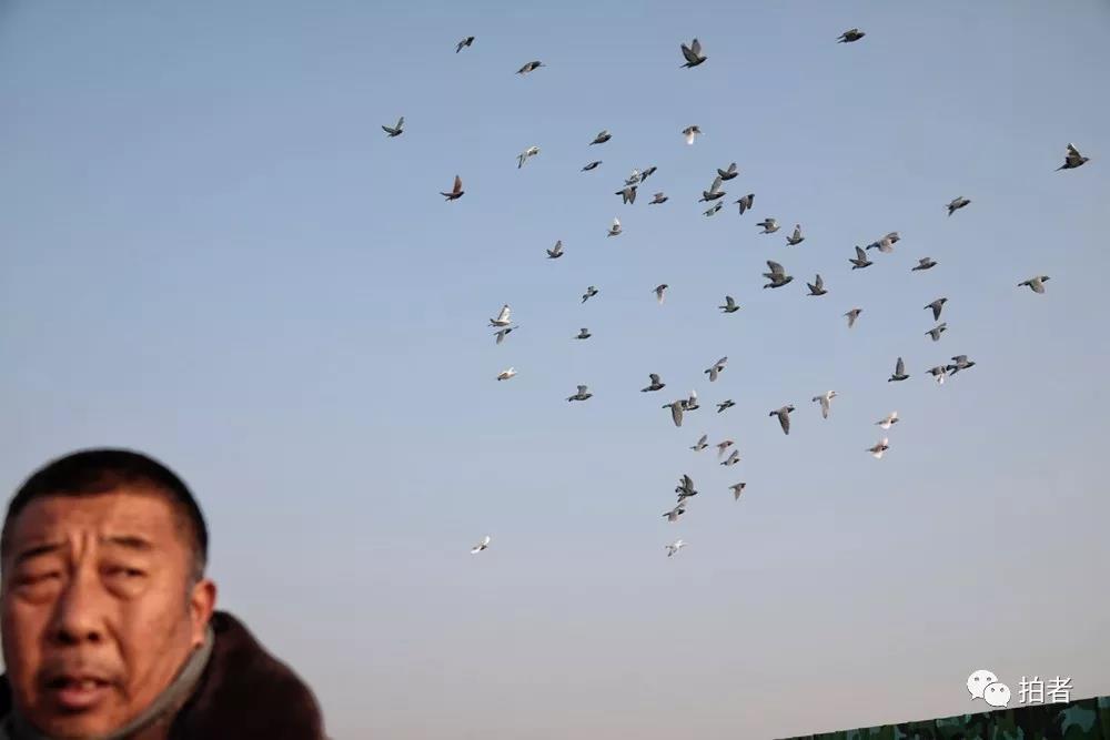 """△12月7日,田志伟养的""""侦察兵""""鸽子飞过他头顶。田志伟说他本身曾经也是别名侦察兵。"""