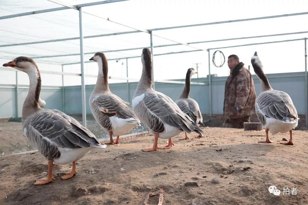 """△12月7日,田志伟和他造就出的5只""""斑头鹅""""。"""