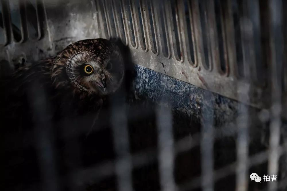 △12月7日,田志伟基地内一只被援助的短耳鸮。
