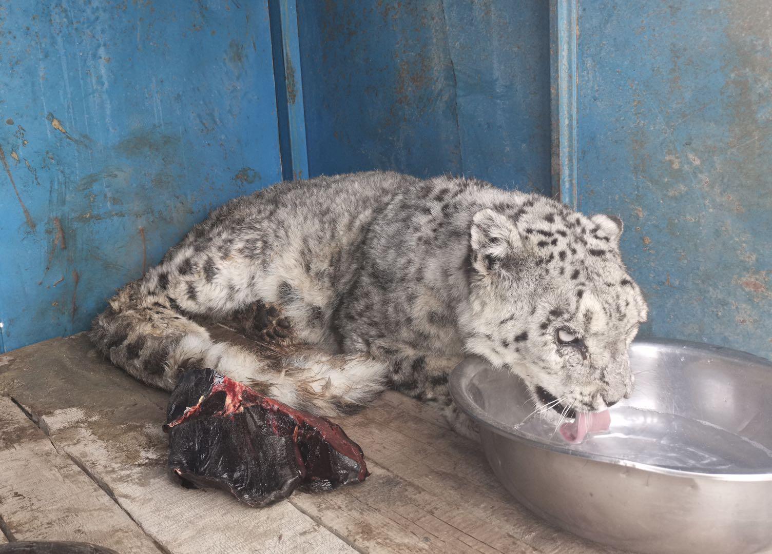 被救助的雪豹 受访者供图