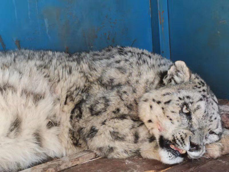 雪豹第二次被救助。 胡杰 图