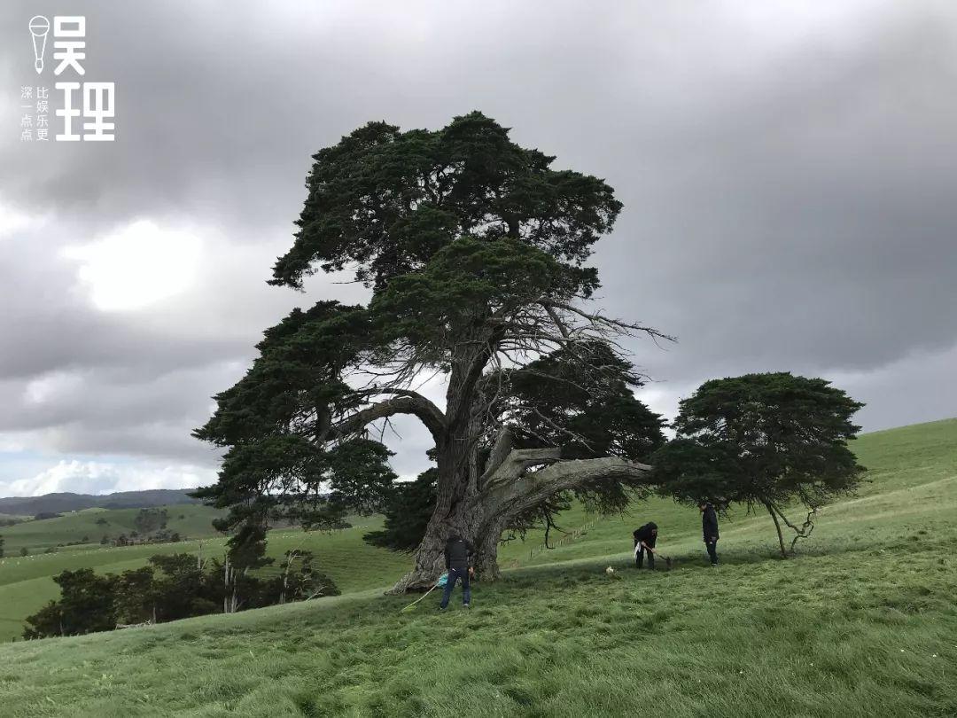 《只要芸知道》新西兰片场,隋春风、罗芸家里的年夜树(拍照:杨晋亚)