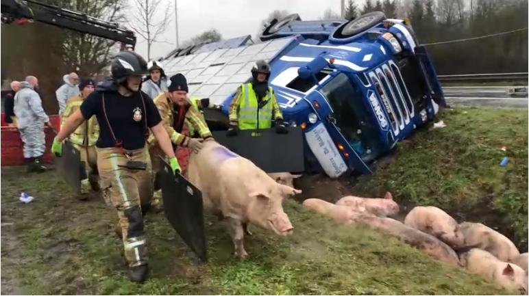 片面生猪逃出侧翻卡车(比利时法语区电视台)