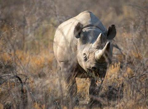世界最长寿野生暗犀牛福斯塔(图源:CBS)