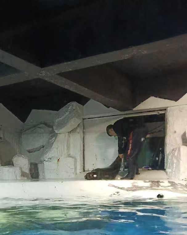 工作人员将从池水中打捞上岸的斑海豹拖走。受访者供图