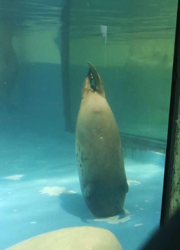 斑海豹被下水道口卡住头部。受访者供图