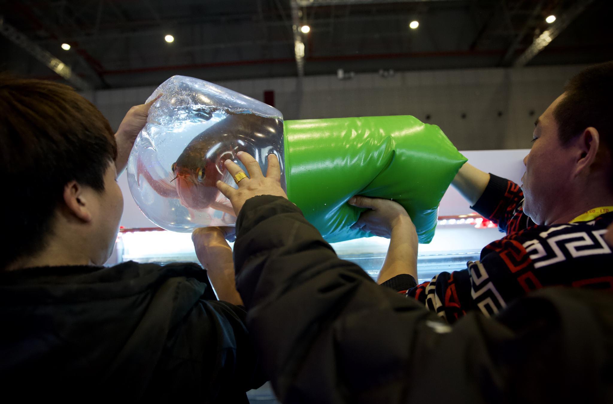 11月19日,工作人员将装有参赛龙鱼的袋子放进比赛缸,等袋内水温与缸中水温接近后,他们才会解开袋子将龙鱼放出。新京报记者 郑新洽 摄