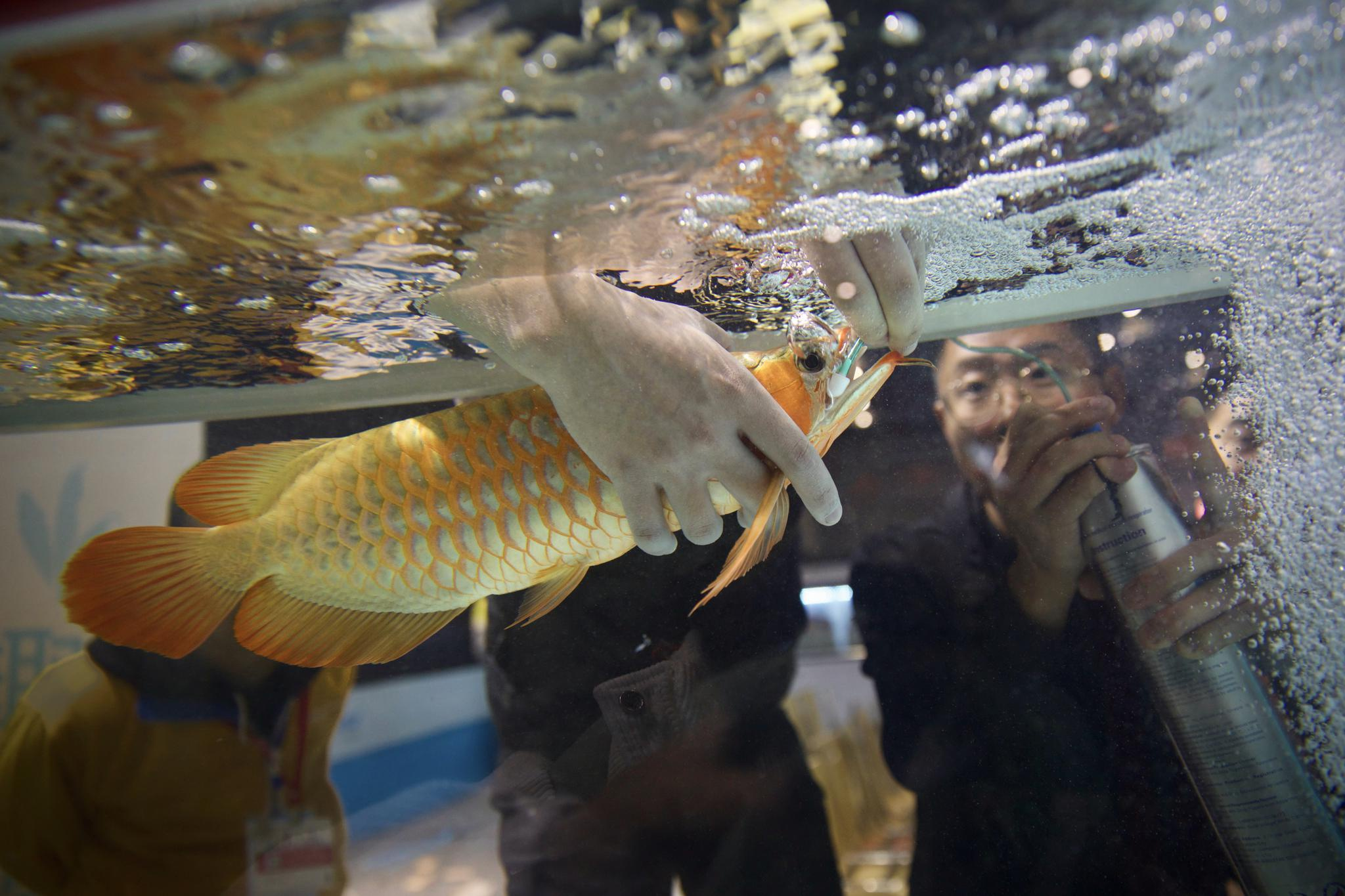 11月19日,比赛会场旁边的商铺,一条红龙鱼刚到就缺氧,放进鱼缸里直翻肚皮,负责人连忙为其供氧抢救。新京报记者 郑新洽 摄