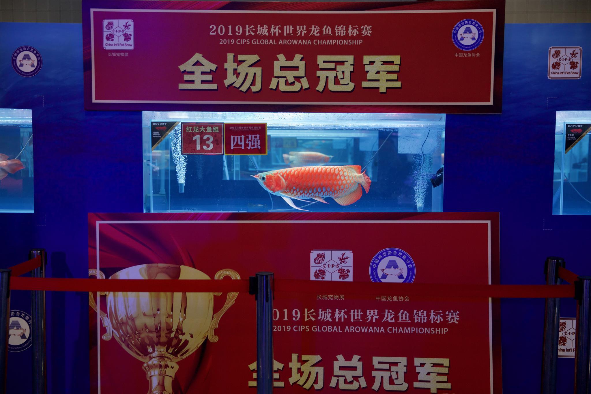 11月22日,获得全场总冠军的龙鱼周围围起隔离带。新京报记者 郑新洽 摄