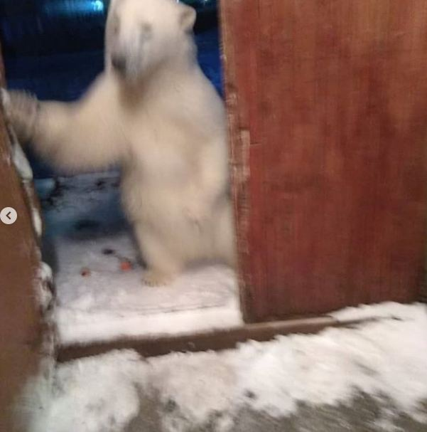 今年2月,有北极熊闯入俄罗斯新地岛的居民区 图自:社交媒体
