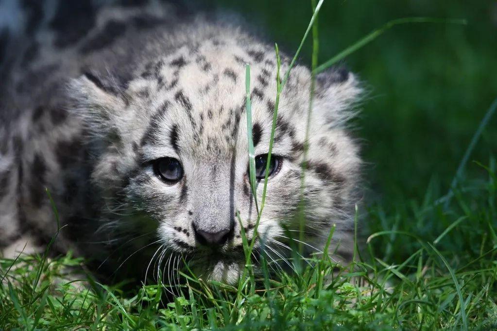一只年轻的雪豹。图源:IC photo