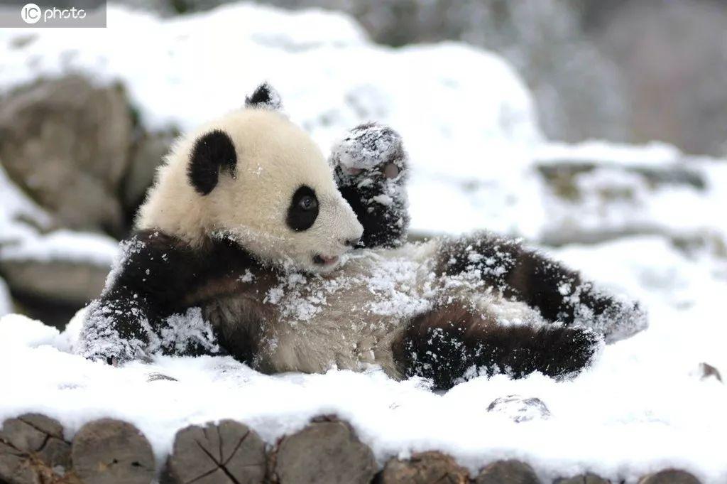 大熊猫。图源IC photo