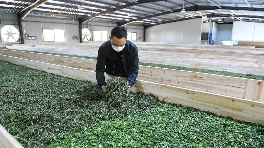 △下党乡村民在茶叶生产车间内进行寿宁白茶的晒青。