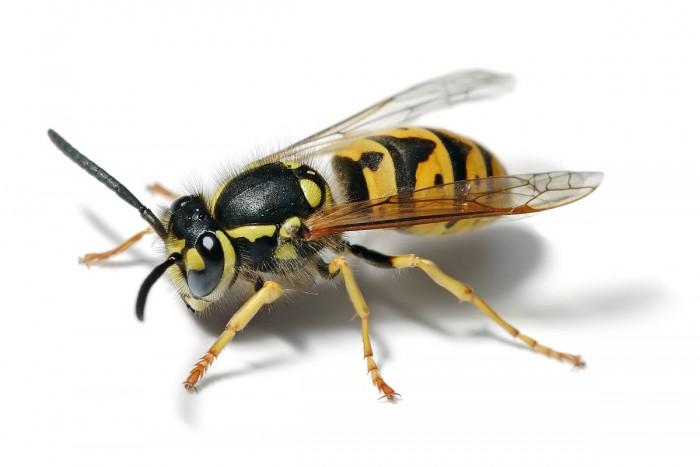 黄蜂毒肽显示出作为有效抗生素候选物的潜力