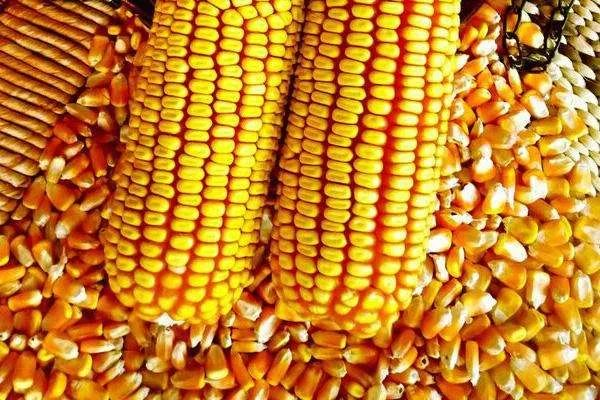 玉米抢粮!玉米暴涨!