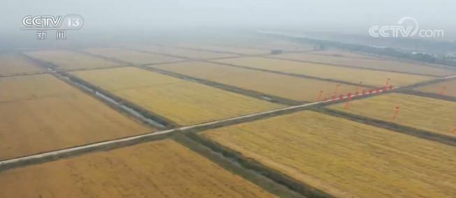 我國10萬畝海水稻完成產量測評圖片