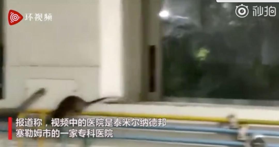 印度ICU病房内老鼠沿氧气管道乱跑 病人就在边上躺着