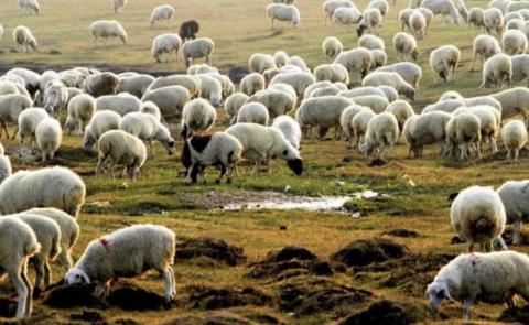 ▲蒙古羊(图片来自:蒙古国NEWS.MN信休网)