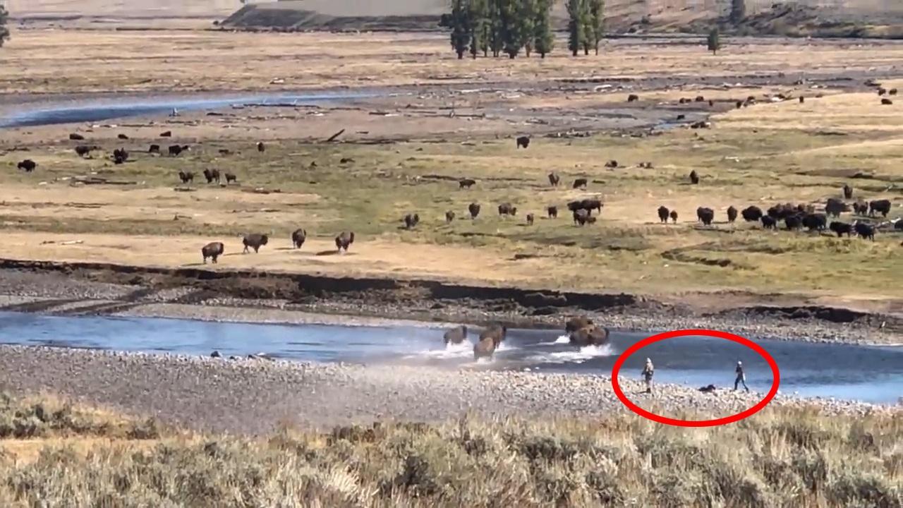 美国黄石公园鲁莽游客无视警告接近野牛群