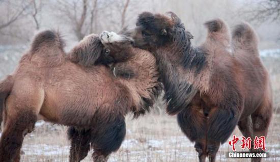 原料图:骆驼。 巴相符挑别克 摄