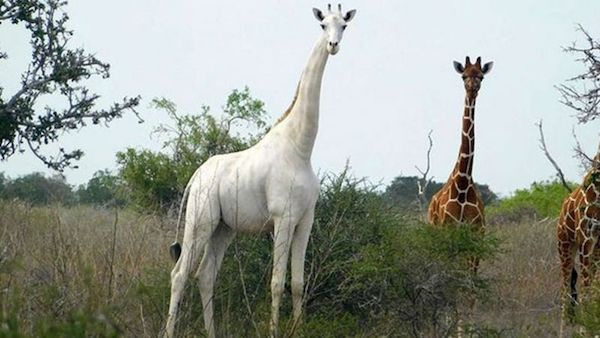 GPS每小时跟踪,保护世界唯一白色长颈鹿