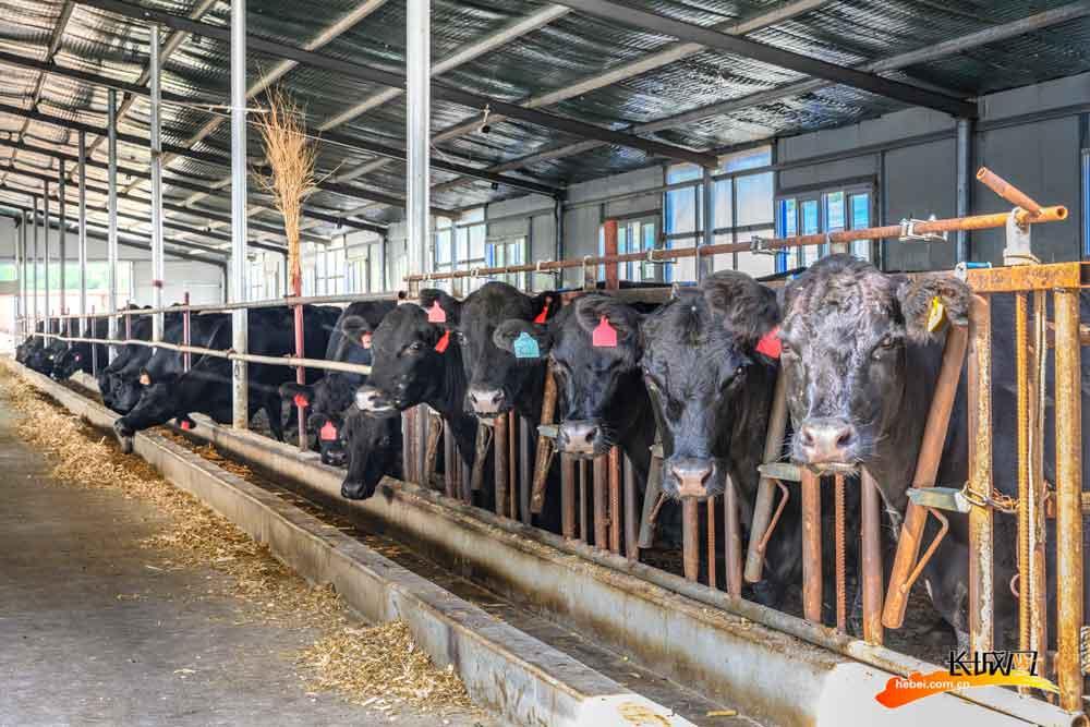 整洁有序的养牛舍内。