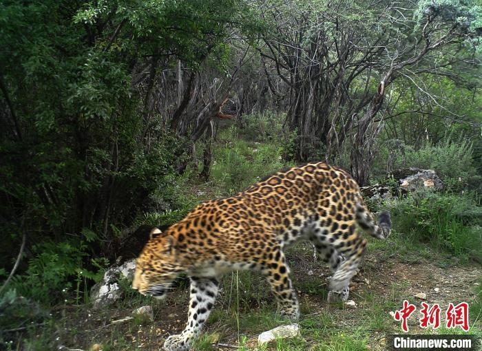 图为红外相机拍到的金钱豹。山水自然珍惜中央供图