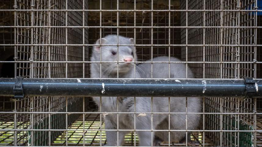 法国首次发现养殖水貂感染新冠病毒