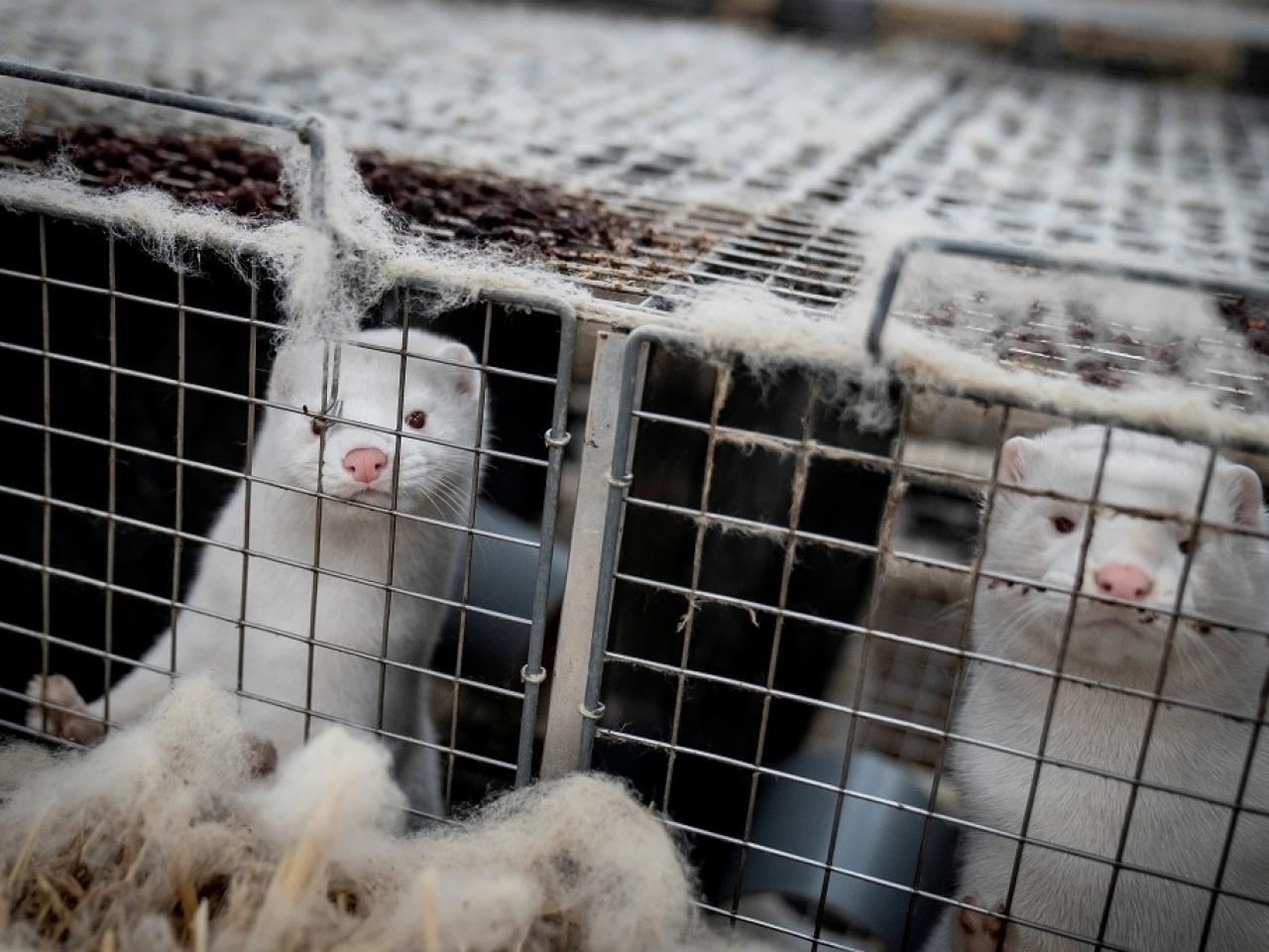 立陶宛首次在养殖貂体内发现新冠病毒 已扑杀40只