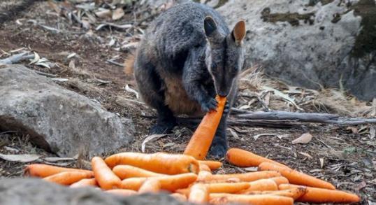 帚尾岩袋鼠(图源:澳洲第7新闻网)