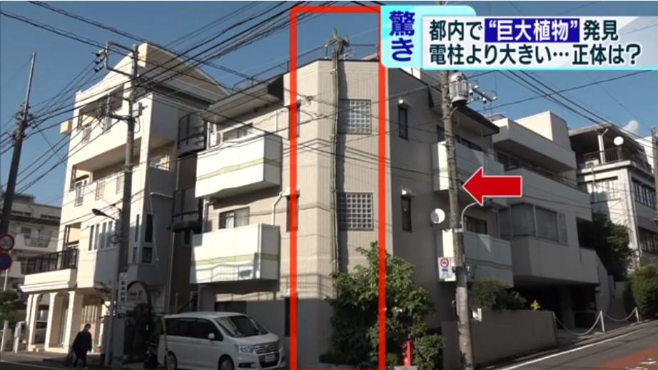 仙人掌高约12米(东京MX电视台)