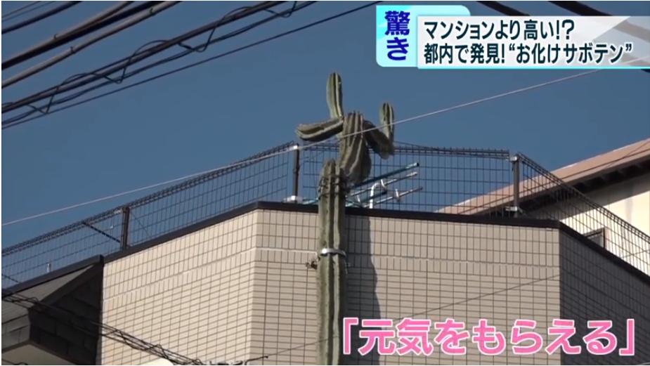 仍在继续生长的仙人掌(东京MX电视台)