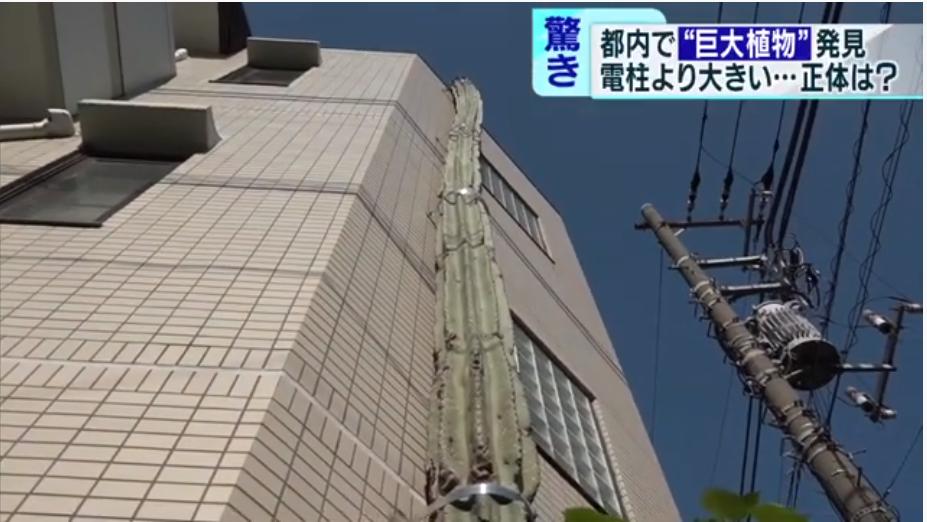 仙人掌沿着墙壁向上生长(东京MX电视台)