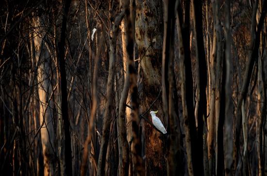 1月11日,在澳大利亚新南威尔士州,一只鹦鹉栖息于焚毁的树林中。新华社/路透