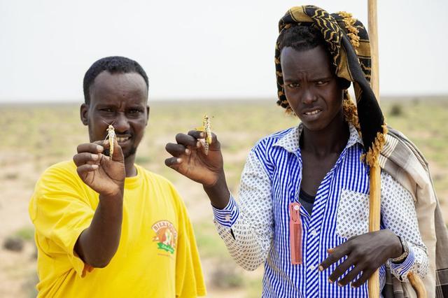 東非蝗災。(圖源:美聯社)