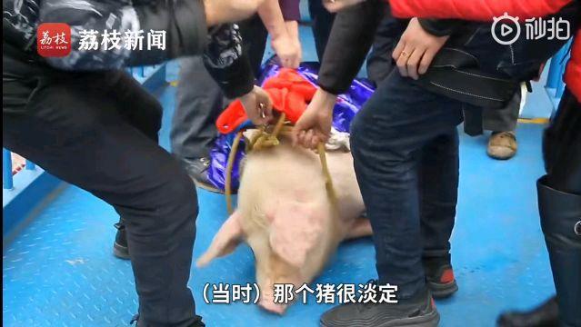 被捆绑的蹦极猪 来源:荔枝视频