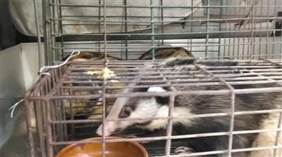 海宝湾水产市场内,弘记农副产品店店主面包车后藏有野生猪獾和土拨鼠